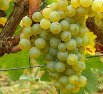 cépage_chardonnay_vin_blanc